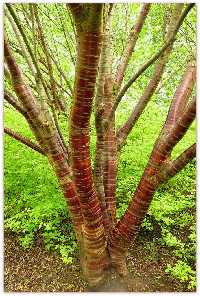 Prunus Serrula by judithdeacon