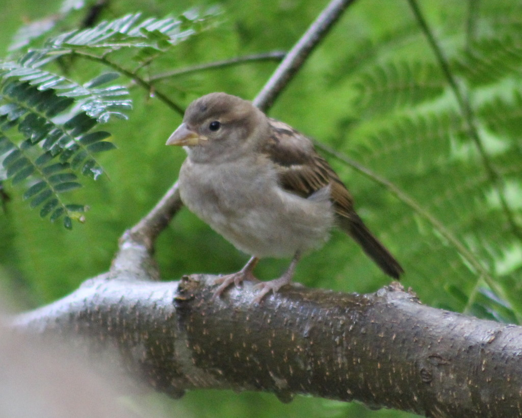 Baby House Sparrow by cjwhite