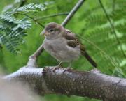 20th Jul 2019 - Baby House Sparrow