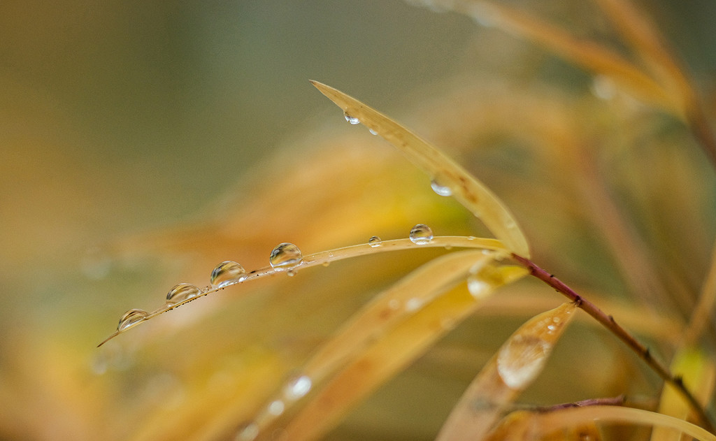 Droplets on a maple leaf by maureenpp