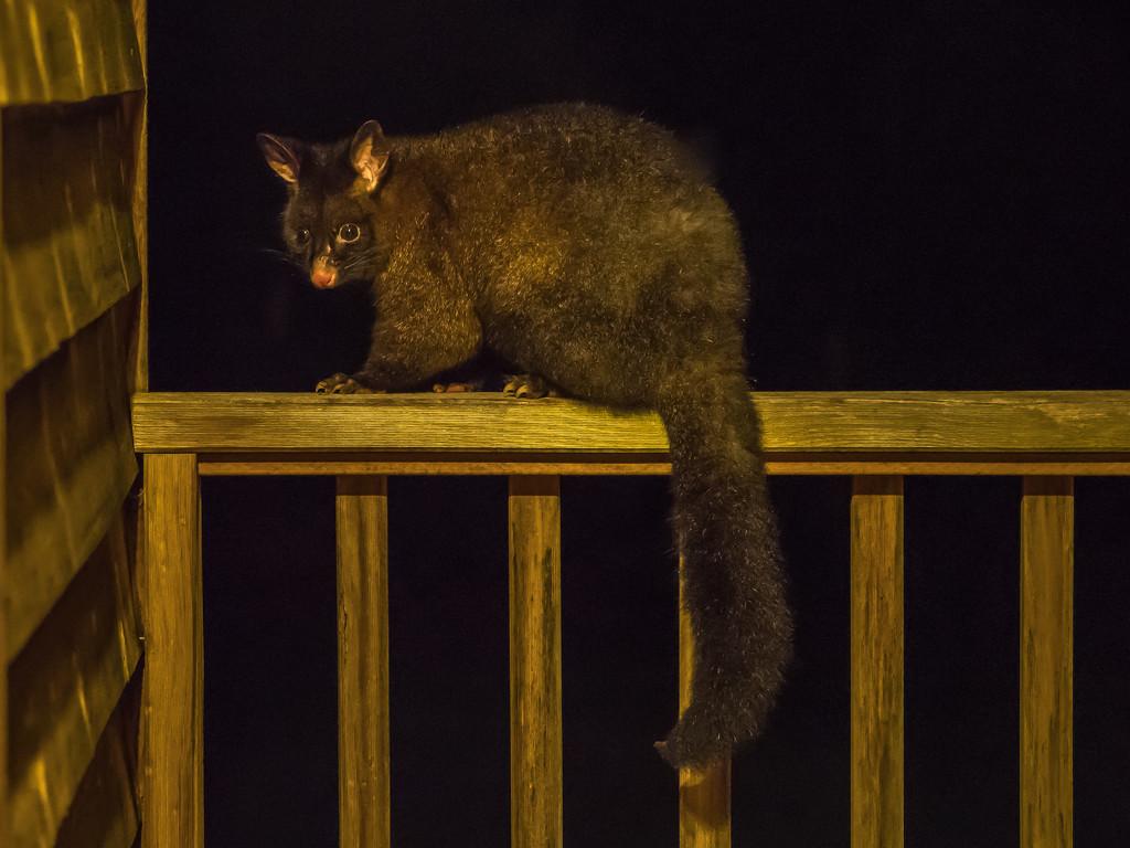 Brushtail possum by gosia