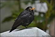 24th Jul 2019 - Poor old blackbird