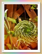 25th Jul 2019 - Clematis seed-head .