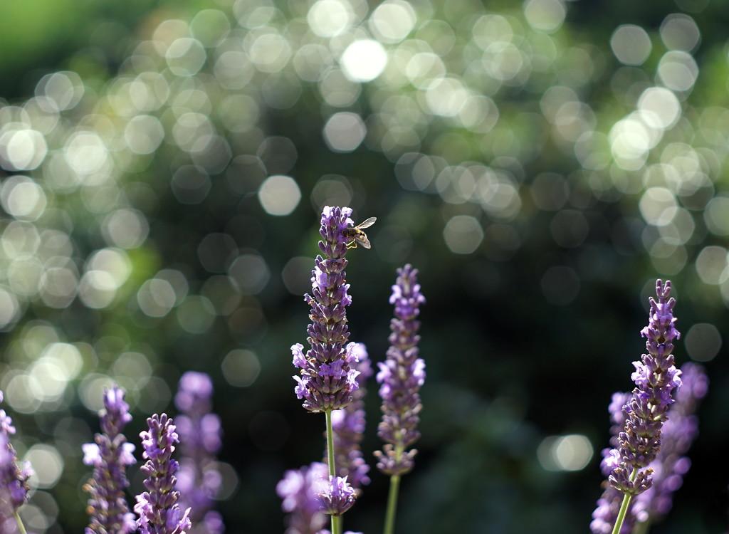 Lavender Bokeh by phil_howcroft