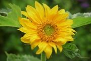 16th Jul 2019 - Sunflower