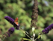21st Jul 2019 - Another butterfly