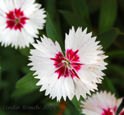 24th Jul 2019 - Dianthus Flower with Swimming Legs
