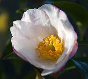 25th Jul 2019 -  Small Camelia