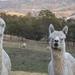 Alpaca's by kgolab