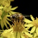 RAGWORT AND HOVER-FLY
