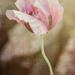 Pretty Poppy by 365karly1