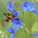 Hummingbird Moth by paintdipper