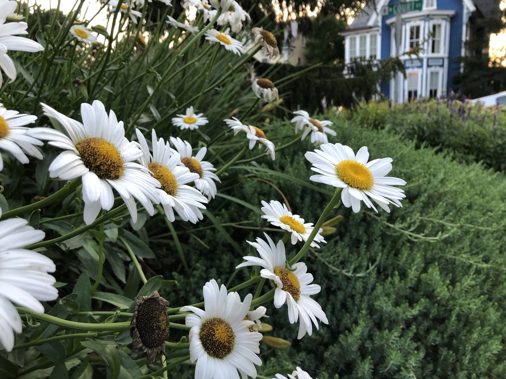 Daisies by loweygrace