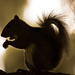 Squirrel Silhouette! by rickster549