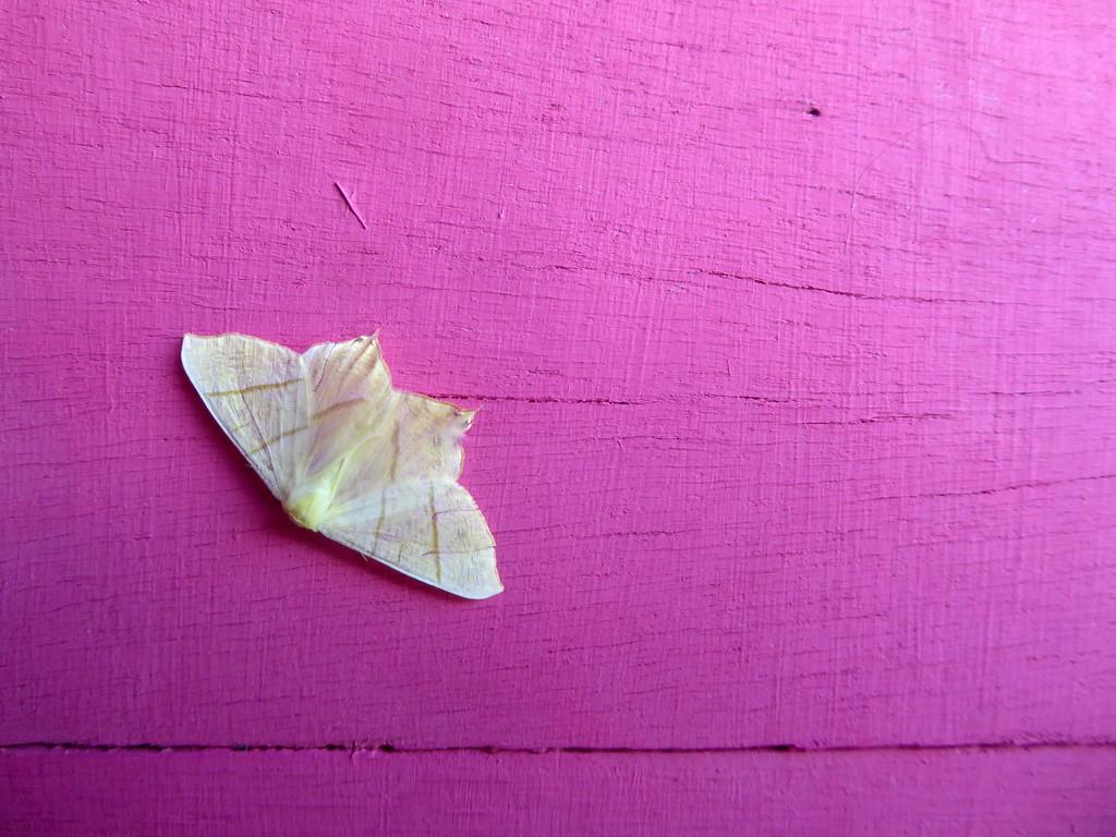 Swallowtail moth by steveandkerry