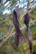 27th Jul 2019 - More seed pods