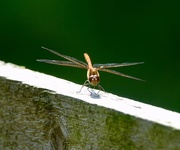 23rd Jul 2019 - Dragonfly!