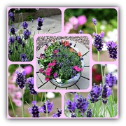 27th Jul 2019 - Lavender and Pink