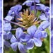 First Plumbago of the year by shutterbug49
