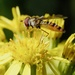 RAGWORT AND HOVER-FLY AGAIN