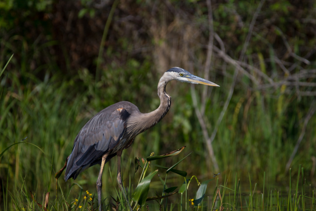 Beautiful Blue Heron by not_left_handed
