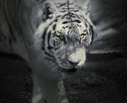 26th Jul 2019 - Eyes of a Tiger