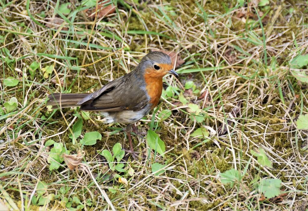 Robin II by madeinnl