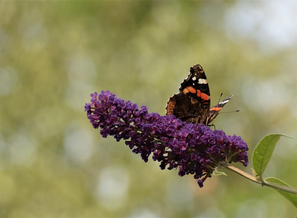 Butterfly I by madeinnl
