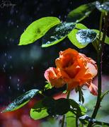 26th Jul 2019 - Rose Enjoying A Shower