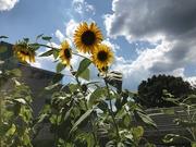 27th Jul 2019 - Sunflowers vs Clouds