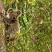 ready, steady, leap ... by koalagardens