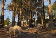 27th Jul 2019 - Sheep