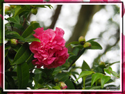 26th Jul 2019 - Framed Camelia
