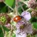 Seven Spot Ladybird by julienne1