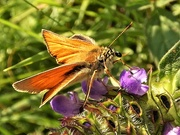 24th Jul 2019 - Small Skipper