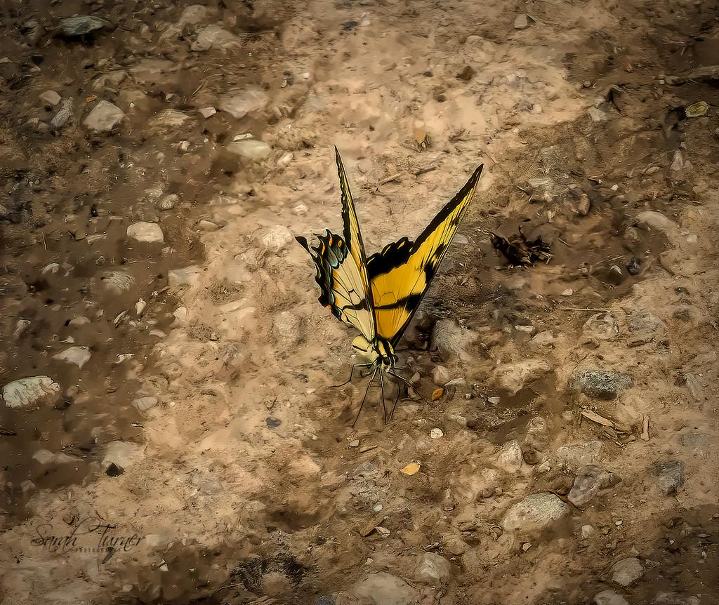 Swallowtail  by samae