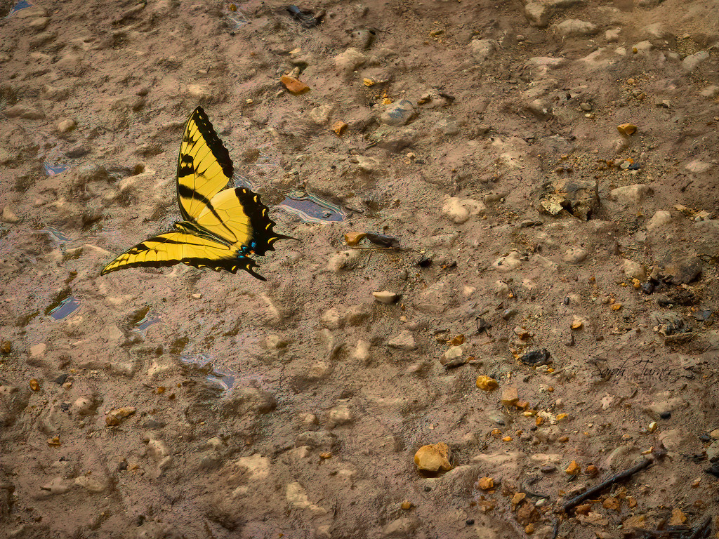 Yellow Swallow Tail Butterfly by samae
