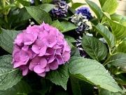 27th Jul 2019 - Hyacinth