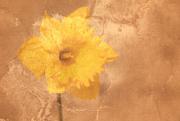 28th Jul 2019 - Daffodil