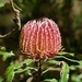 No Orchids, But Plenty Of Banksias_DSC7788 by merrelyn