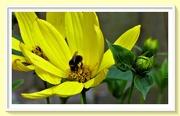 28th Jul 2019 - Rudbeckia and the bee