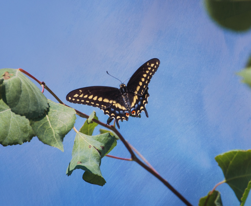 black swallowtail by aecasey