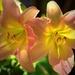 Backyard Beauties by lynnz