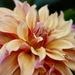 Garden Dahlia by carole_sandford