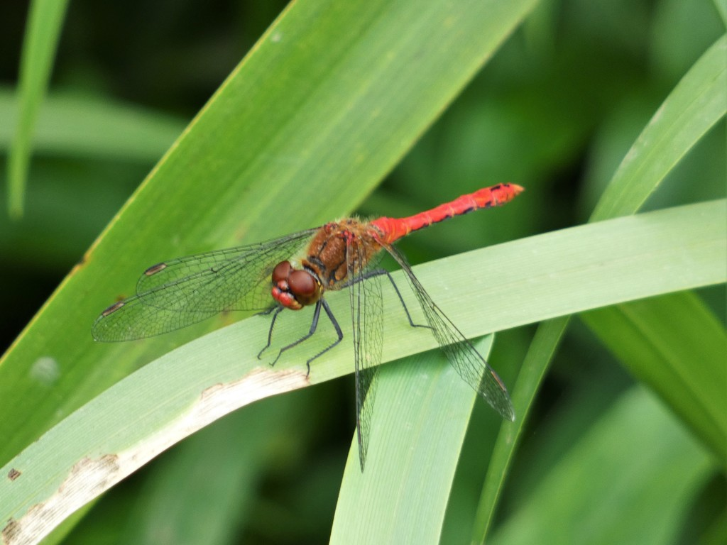 Ruddy Darter by julienne1