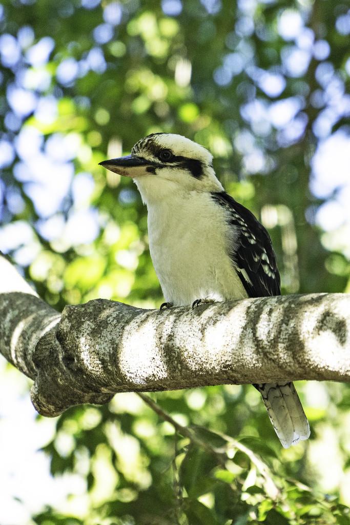 Kookaburra sits in the old gum tree by sugarmuser