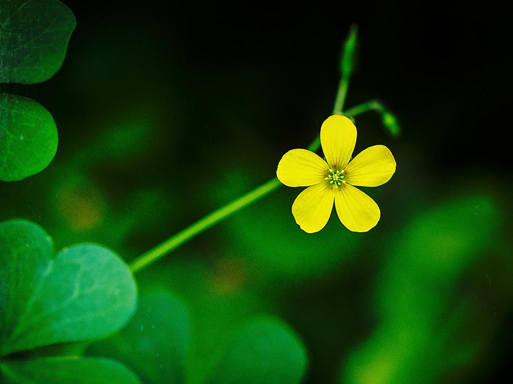 Tiny Yellow by gardencat