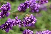 29th Jul 2019 - Enjoying the Lavender