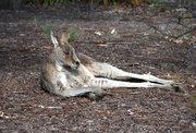 31st Jul 2019 - Kangaroo at rest