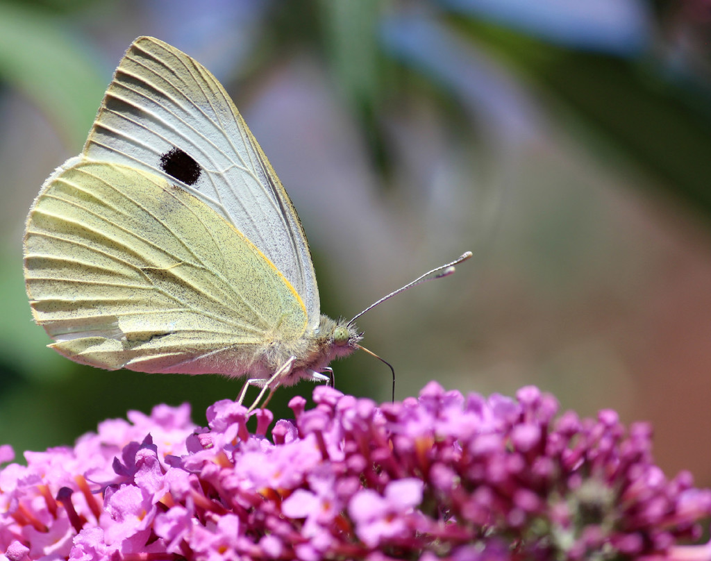Large White  by wendyfrost